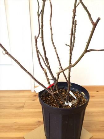 良い芽がない枝もカット1