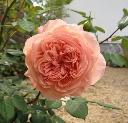 ウィリアムモリス一番花