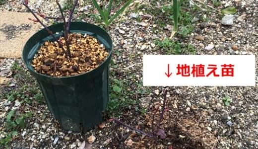 バラの成長記録!鉢植えVS地植え編第4回!