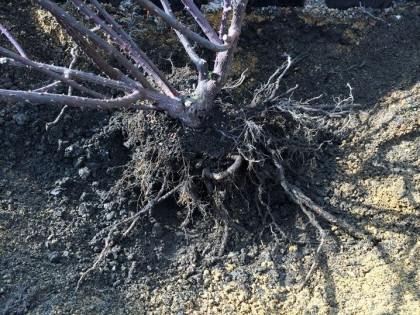 根が見えてきた