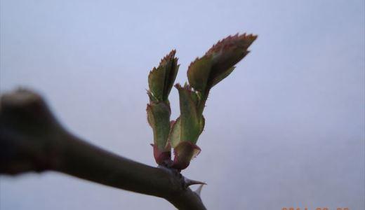 バラの芽かき!新芽に養分を集中させるには?