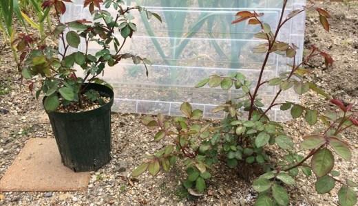鉢植えVS地植え!バラの比較実験の第5回!