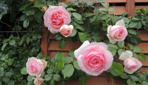 ピエールドゥロンサールが開花!日なたと半日陰対決!