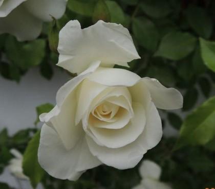 つるアイスバーグが開花1