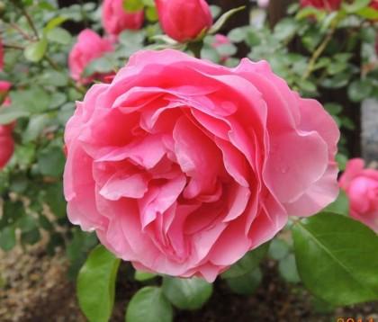 レオナルドダヴィンチの開花4