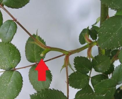 ブラインドした芽をピンチ