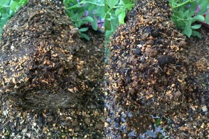 コスモス化成肥料根鉢