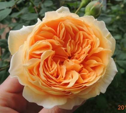 クラウンプリンセスマルガリータの開花2