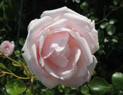 ニュードーンの咲く様子4