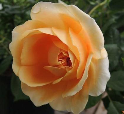 クラウンプリンセスマルガリータの開花1