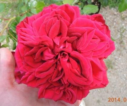 リパブリックドゥモンマルトルの一番花3