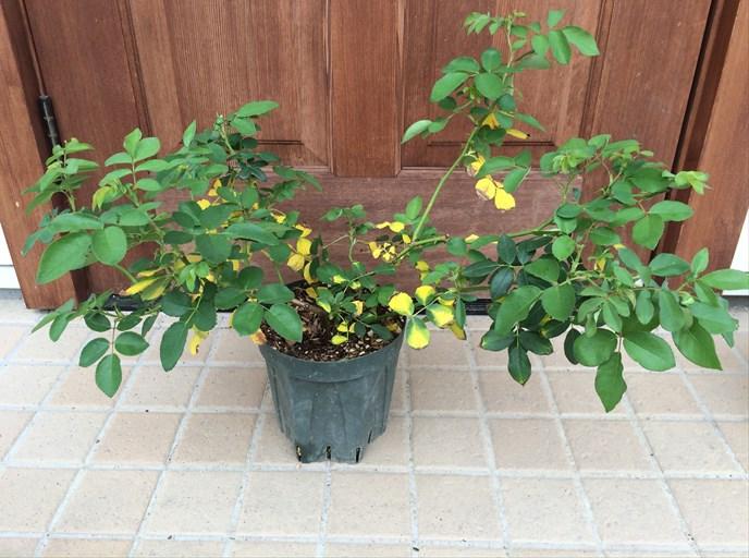バラの葉が黄変1