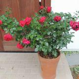 リパブリックドゥモンマルトルの二番花全体