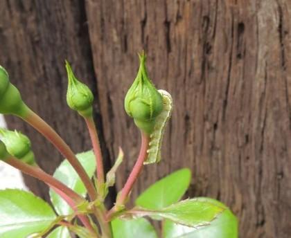バラの蕾を食べる芋虫1