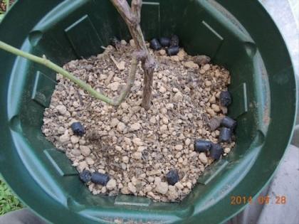 バラの家オーガニック肥料を鉢の周囲にも