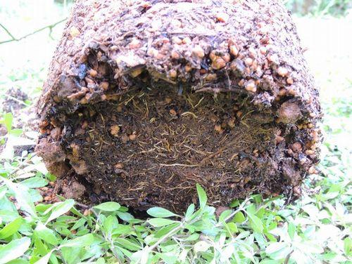 バラの家オーガニック肥料の根鉢2