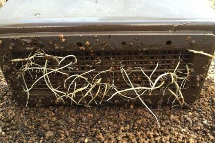 鉢上げ直前の挿し木苗の根っこ