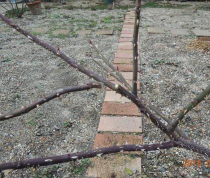混み合う枝を切る1