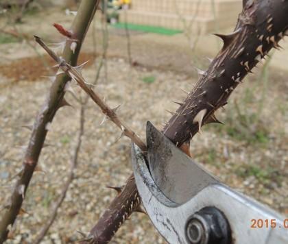 枯れ枝を切る