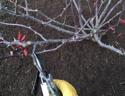 バラ剪定 混み合う枝を切る1