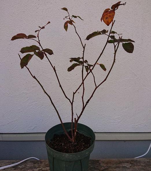葉がほとんどないバラ