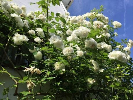 バラが咲いた20150523 (3)