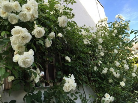 バラが咲いた20150517
