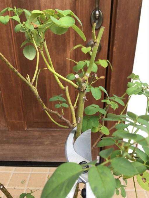 夏バテ気味なバラ太めの枝もカット