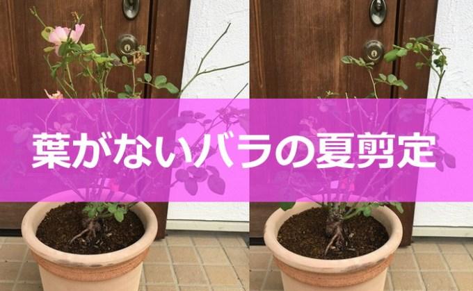 葉がないバラの夏剪定-01