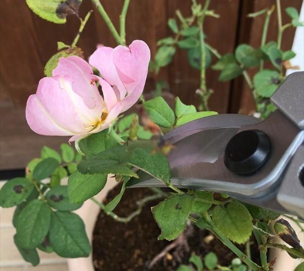 弱ったバラの花柄をカット