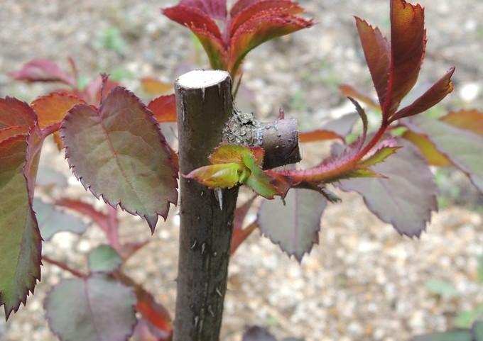 レディ・エマ・ハミルトン枝の付け根から芽が出る2