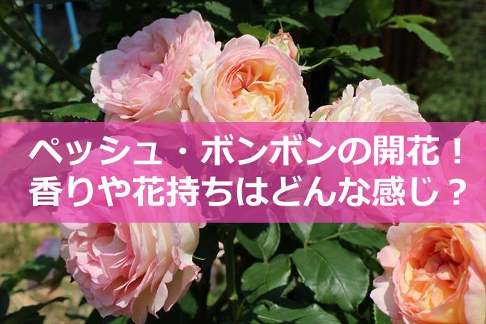 バラのペッシュ・ボンボンの開花と香り-01