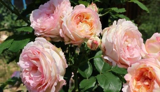 ペッシュボンボンの開花!香りや花もちはどうなの?