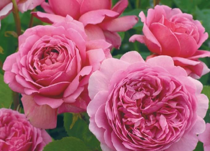 プリンセスアレキサンドラオブケントの花