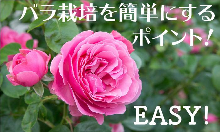 バラ栽培を簡単にするポイント