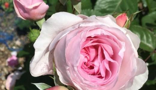 オリビアローズオースチンが開花!香りと花持ちは?