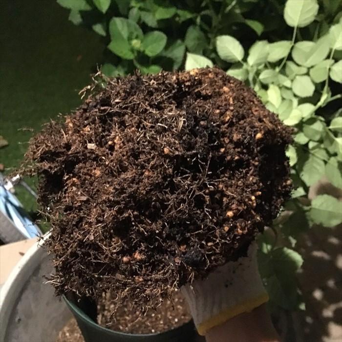 ルージュ化成肥料の根鉢