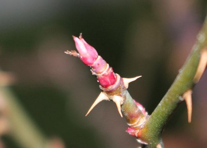 枝の先端の芽