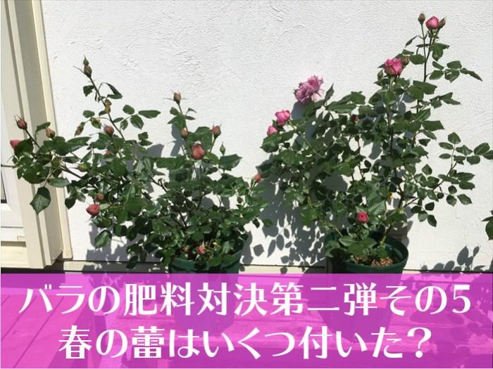 バラの肥料対決第二弾その5