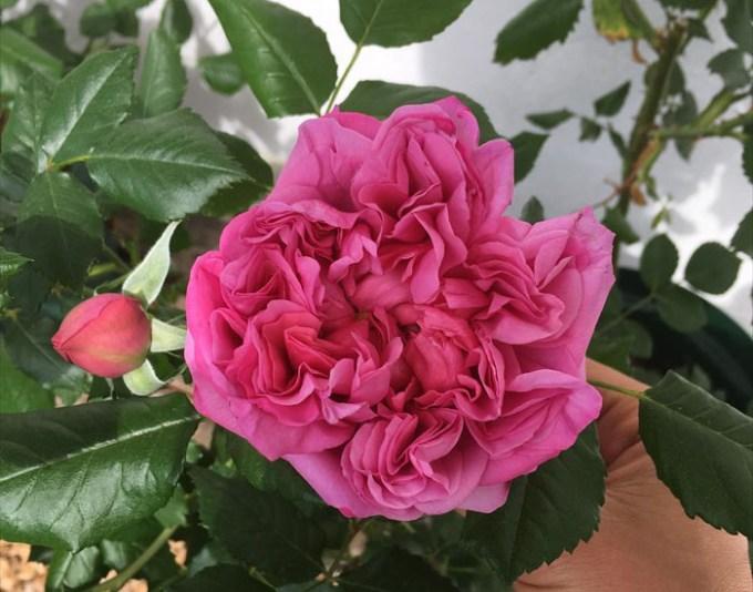 ローズポンパドールの開花:化成肥料