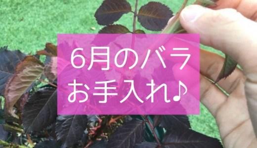6月のバラの育て方とお手入れ方法♪