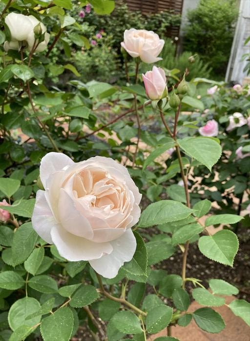 デスデモーナ(バラ)の花4