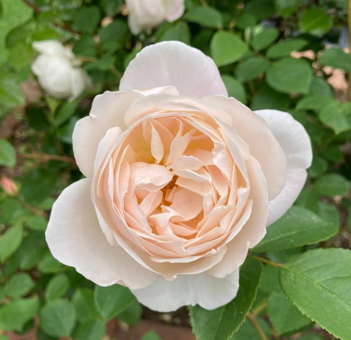 デスデモーナが開花2