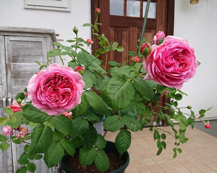 ローズポンパドゥールに似ているプリンセス・アレキサンドラ・オブ・ケントの花