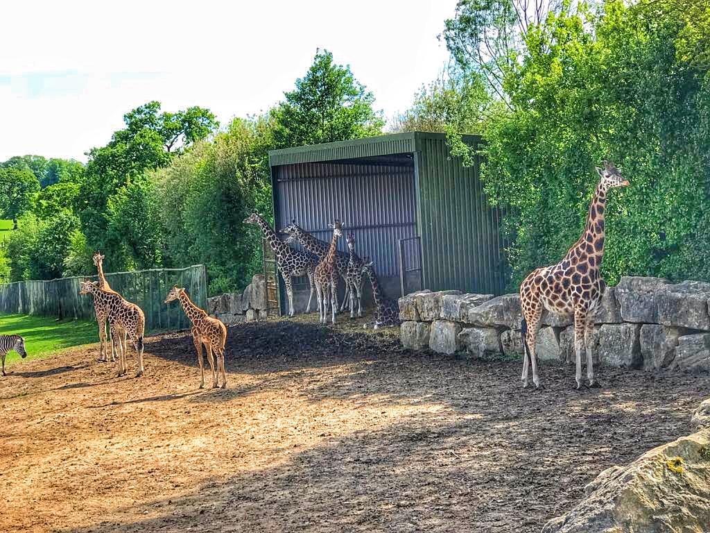 Longleat Safari Park Giraffe
