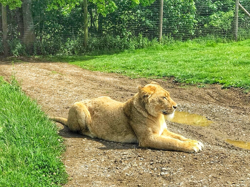 Longleat Safari Park Lion - Enjoy the Adventure travel blog