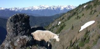 mountain-goats-eliminated-Olympic-National-Park
