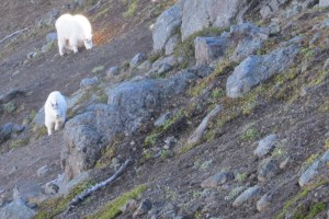 Mountain - Goats - Olympic - National - Park