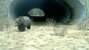 grizzly-at-banff-highway-underpass