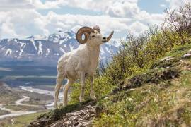 Credit: Miles Leguineche Denali National Park and Preserve